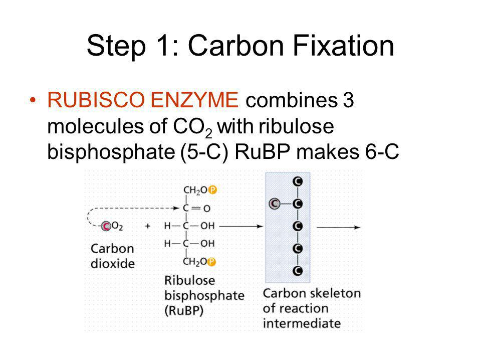 Step 1: Carbon Fixation RUBISCO ENZYME combines 3 molecules of CO 2 with ribulose bisphosphate (5-C) RuBP makes 6-C