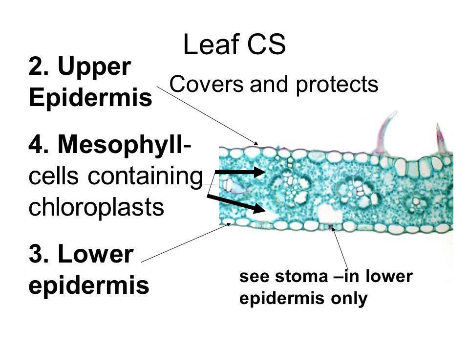 Leaf CS 2. Upper Epidermis 4. Mesophyll- cells containing chloroplasts 3. Lower epidermis Covers and protects see stoma –in lower epidermis only