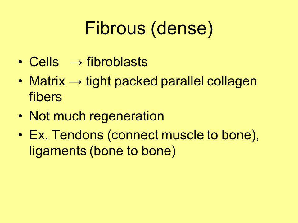 Fibrous (dense) Cells fibroblasts Matrix tight packed parallel collagen fibers Not much regeneration Ex. Tendons (connect muscle to bone), ligaments (