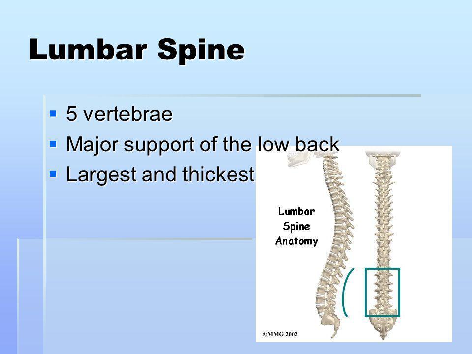 Lumbar Spine 5 vertebrae 5 vertebrae Major support of the low back Major support of the low back Largest and thickest Largest and thickest