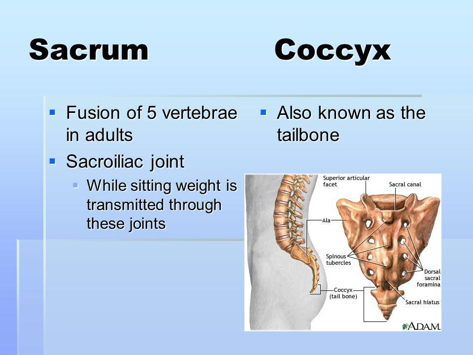 Sacrum Coccyx Fusion of 5 vertebrae in adults Fusion of 5 vertebrae in adults Sacroiliac joint Sacroiliac joint While sitting weight is transmitted through these joints While sitting weight is transmitted through these joints Also known as the tailbone Also known as the tailbone