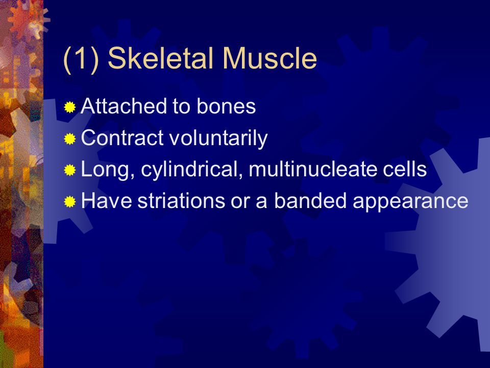 (1) Skeletal Muscle Attached to bones Contract voluntarily Long, cylindrical, multinucleate cells Have striations or a banded appearance