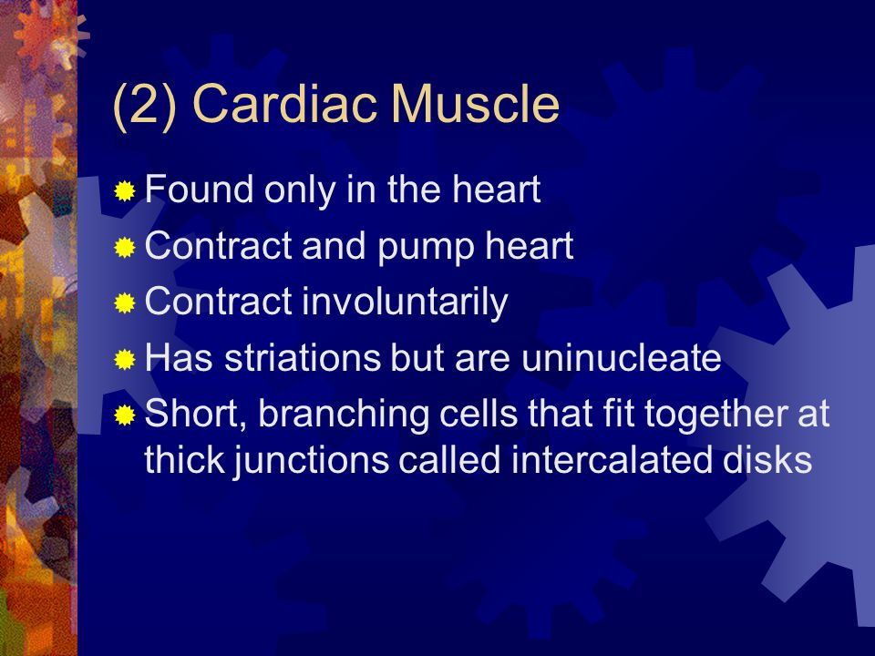 (2) Cardiac Muscle Found only in the heart Contract and pump heart Contract involuntarily Has striations but are uninucleate Short, branching cells that fit together at thick junctions called intercalated disks