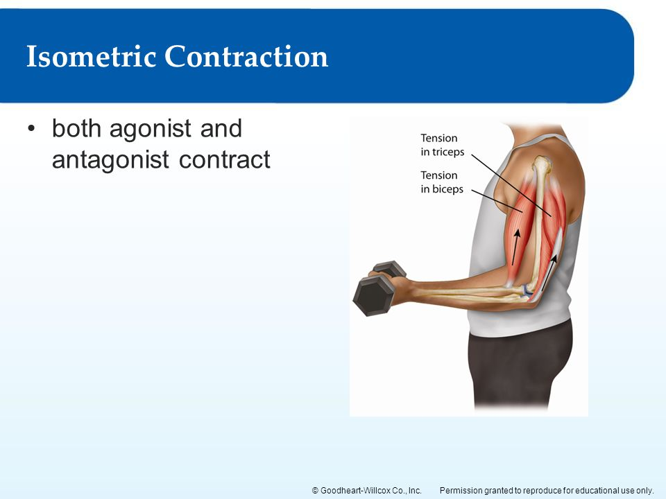Permission granted to reproduce for educational use only.© Goodheart-Willcox Co., Inc. both agonist and antagonist contract Isometric Contraction