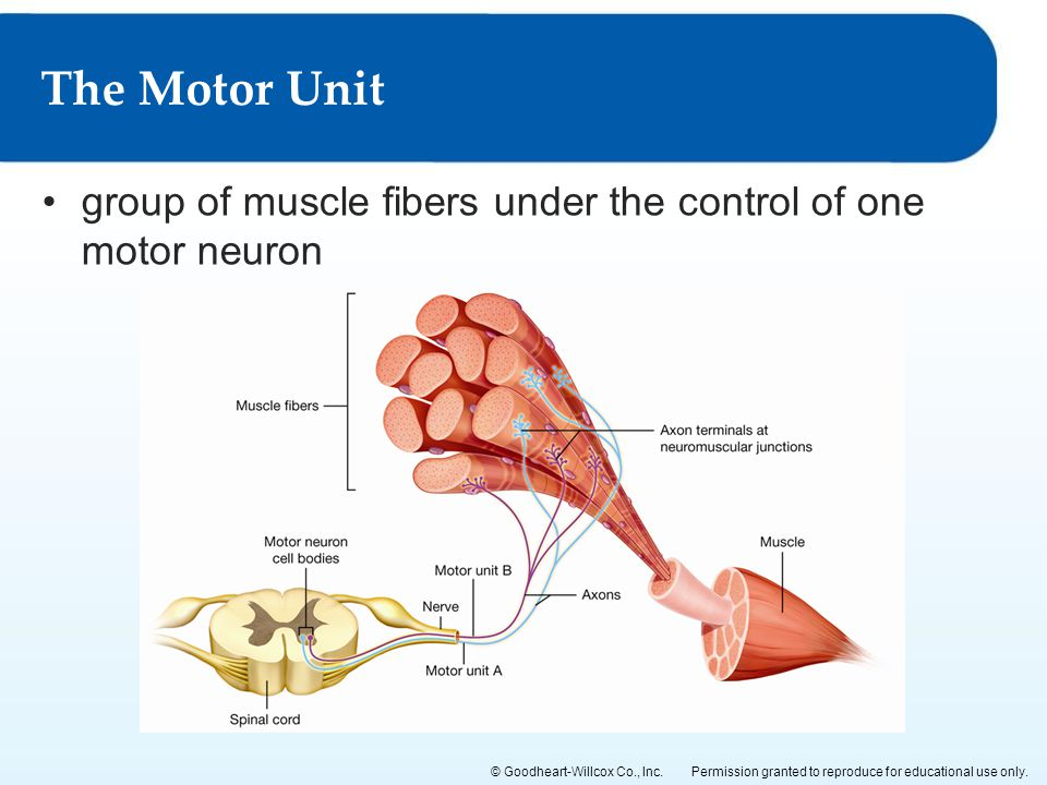 Permission granted to reproduce for educational use only.© Goodheart-Willcox Co., Inc. group of muscle fibers under the control of one motor neuron Th