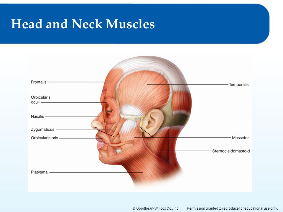 Permission granted to reproduce for educational use only.© Goodheart-Willcox Co., Inc. Head and Neck Muscles