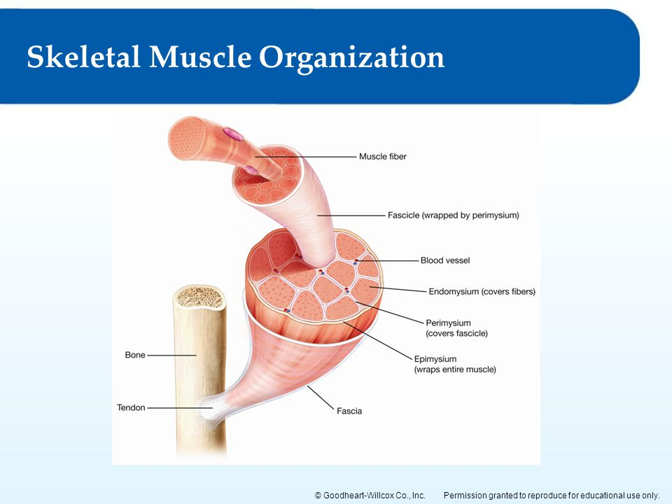 Permission granted to reproduce for educational use only.© Goodheart-Willcox Co., Inc. Skeletal Muscle Organization