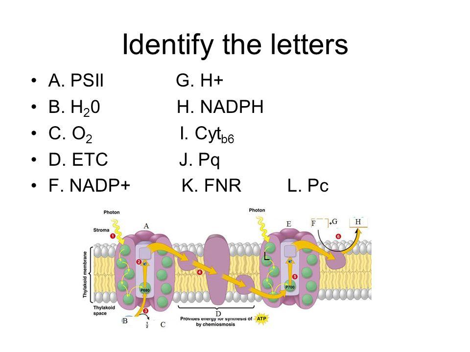 A. PSII G. H+ B. H 2 0 H. NADPH C. O 2 I. Cyt b6 D. ETC J. Pq F. NADP+ K. FNR L. Pc L