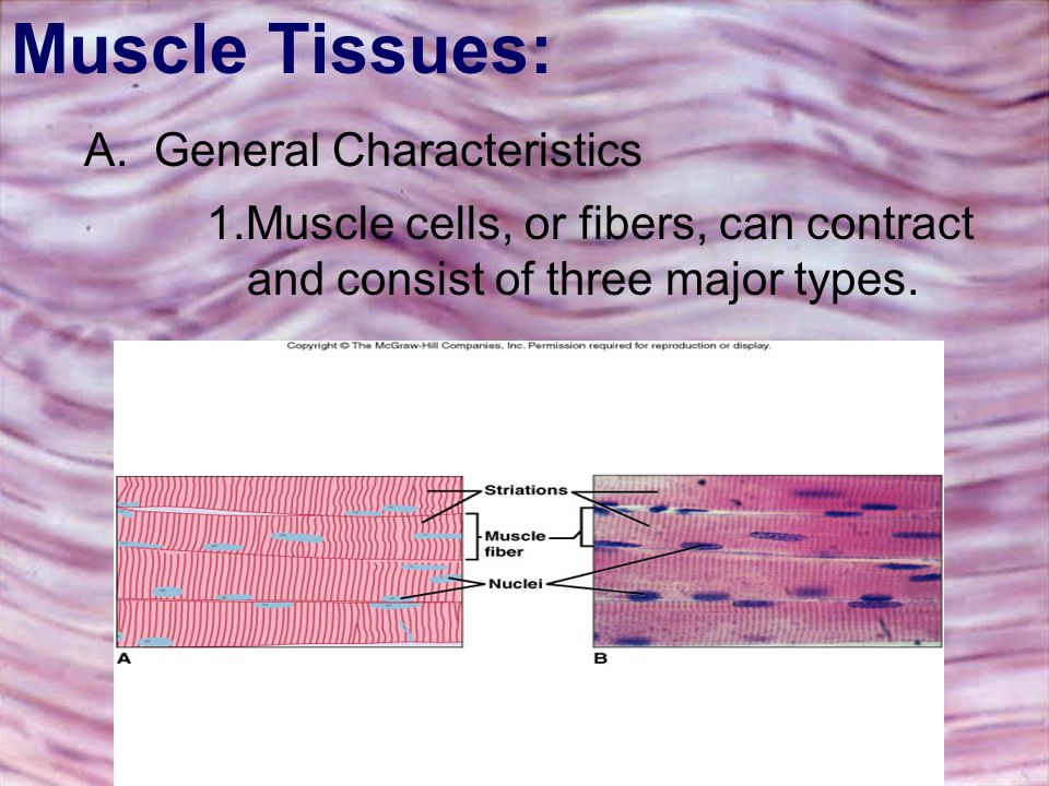 Muscle Tissues: A.