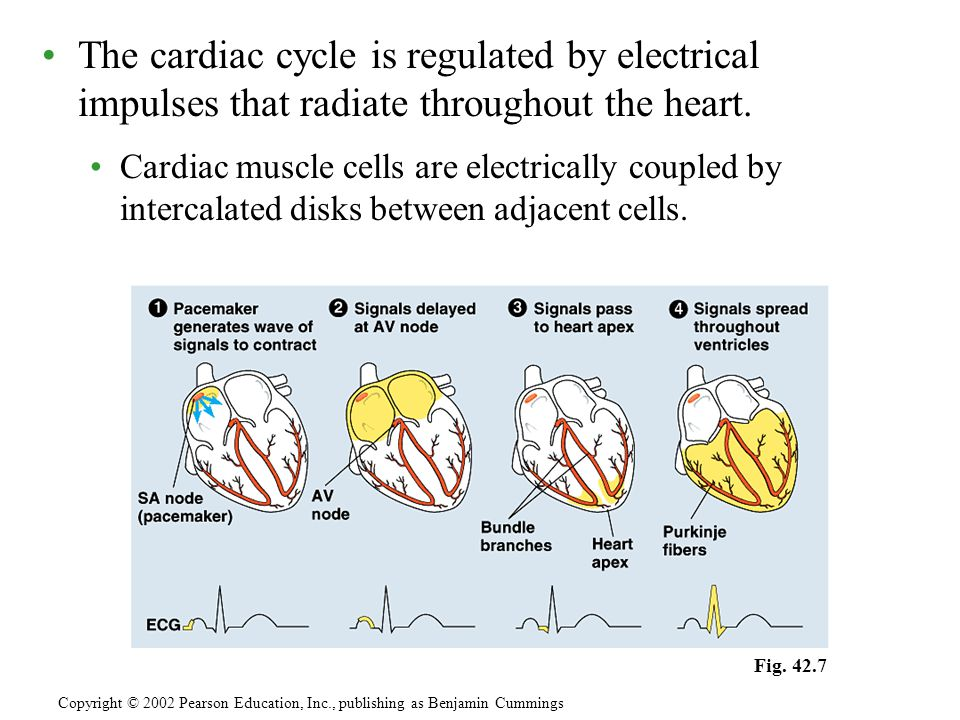 The cardiac cycle is regulated by electrical impulses that radiate throughout the heart. Cardiac muscle cells are electrically coupled by intercalated