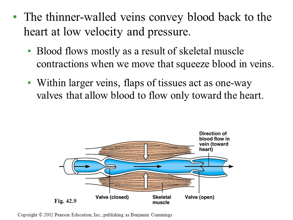 The thinner-walled veins convey blood back to the heart at low velocity and pressure. Blood flows mostly as a result of skeletal muscle contractions w