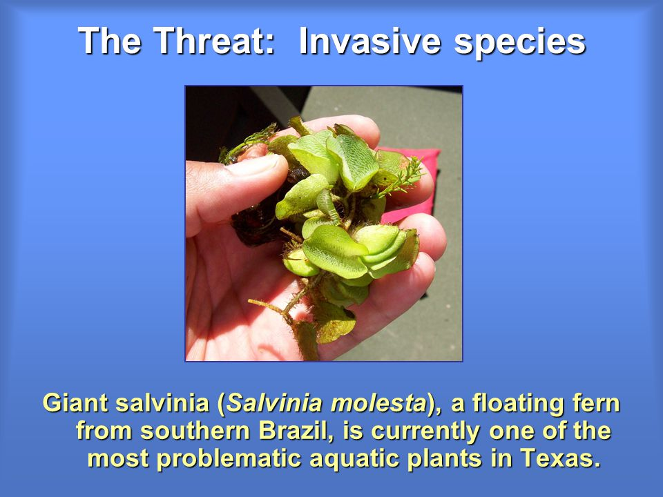 The Threat: Invasive species Giant salvinia (Salvinia molesta), a floating fern from southern Brazil, is currently one of the most problematic aquatic plants in Texas.