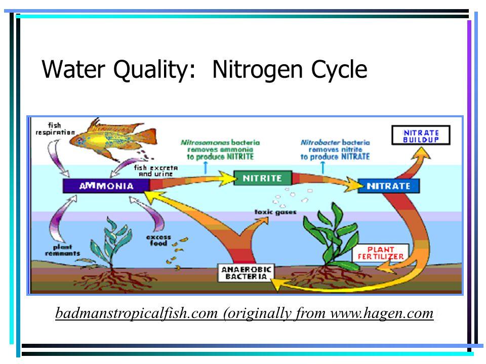 Water Quality: Nitrogen Cycle badmanstropicalfish.com (originally from www.hagen.com)