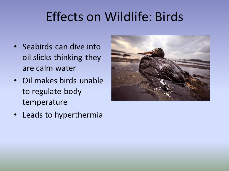 Effects on Wildlife: Birds Seabirds can dive into oil slicks thinking they are calm water Oil makes birds unable to regulate body temperature Leads to hyperthermia