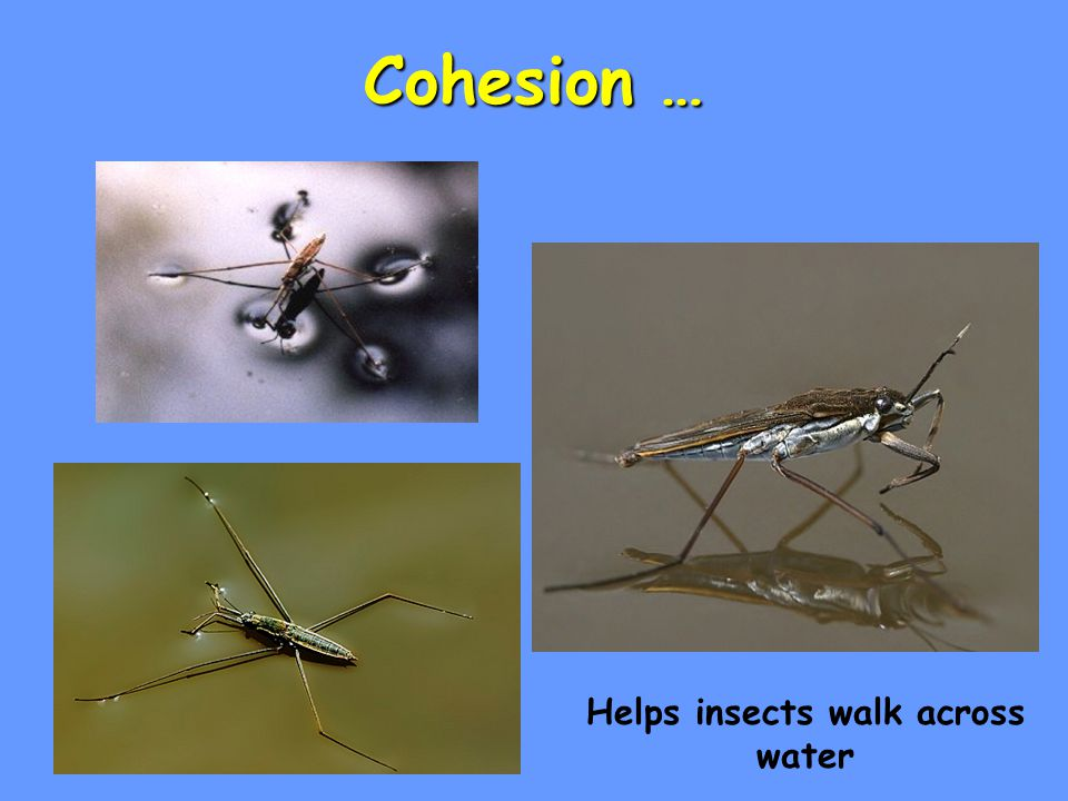 Cohesion … Helps insects walk across water