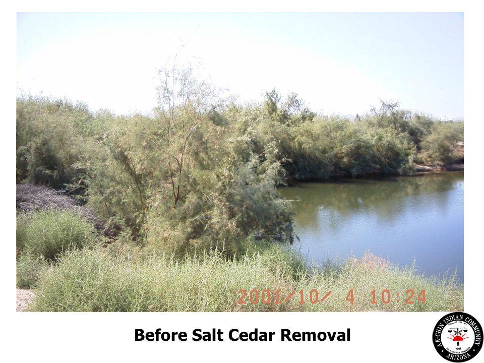 Before Salt Cedar Removal