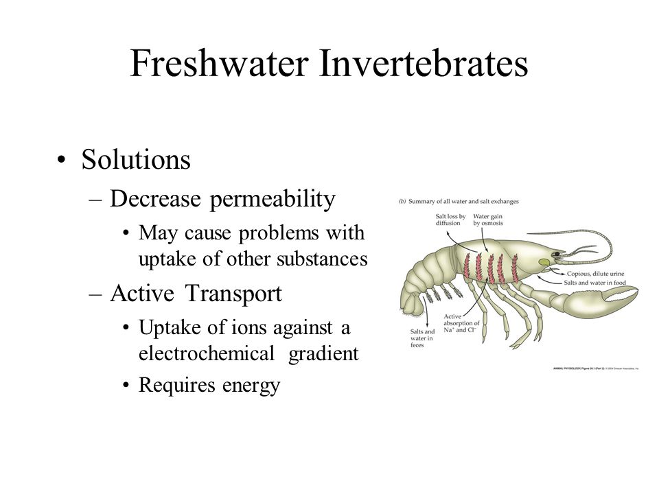 Freshwater Invertebrates Typically osmoregulators –Maintain hyperosmotic body fluids Problems –Water tends to flow into of the animal Osmotic uptake –