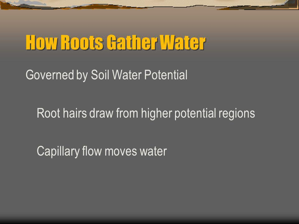 How Roots Gather Water Governed by Soil Water Potential Root hairs draw from higher potential regions Capillary flow moves water