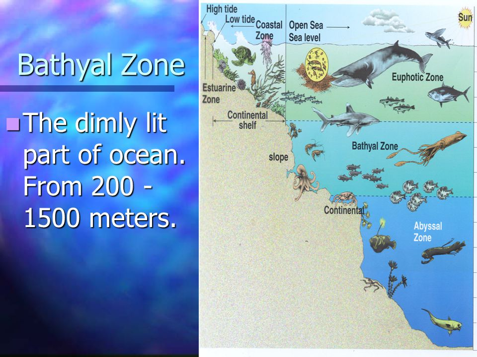 Bathyal Zone The dimly lit part of ocean. From 200 - 1500 meters. The dimly lit part of ocean. From 200 - 1500 meters.