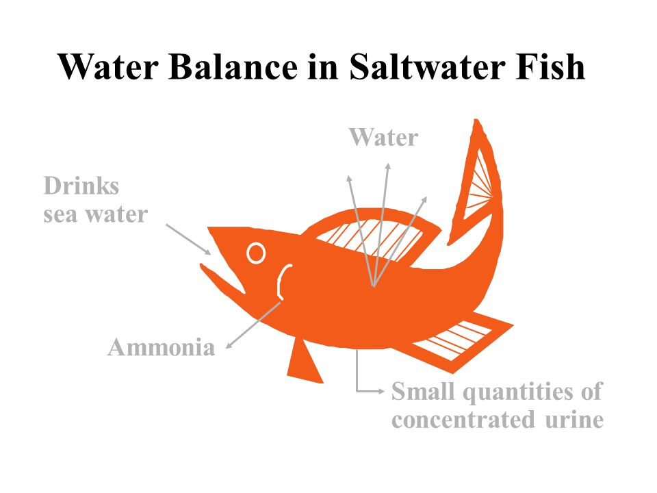 Water Balance in Saltwater Fish Small quantities of concentrated urine Ammonia Water Drinks sea water