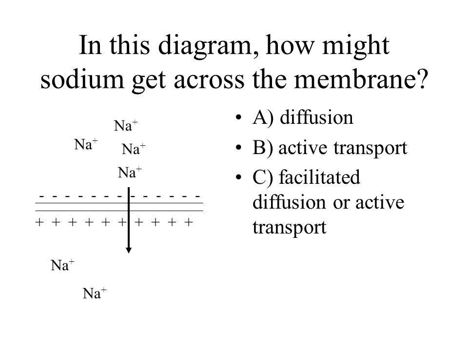 In this diagram, how might sodium get across the membrane? A) diffusion B) active transport C) facilitated diffusion or active transport Na + - - - -
