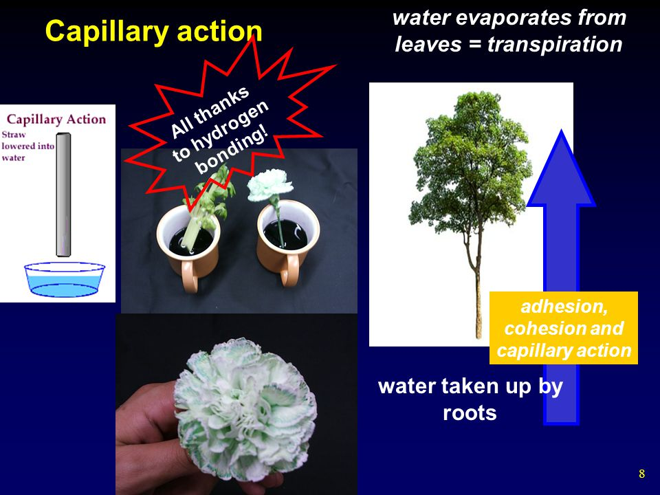 9 trees have specialized structures to transport water: xylem and phloem plumbing water molecules are dragged from the roots to the top of the tree by capillary action and cohesion: hydrogen bonds help water molecules to each other