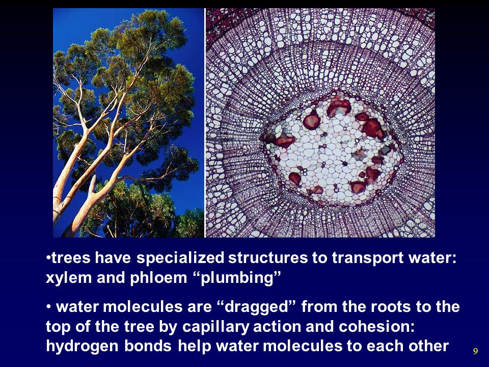 9 trees have specialized structures to transport water: xylem and phloem plumbing water molecules are dragged from the roots to the top of the tree by