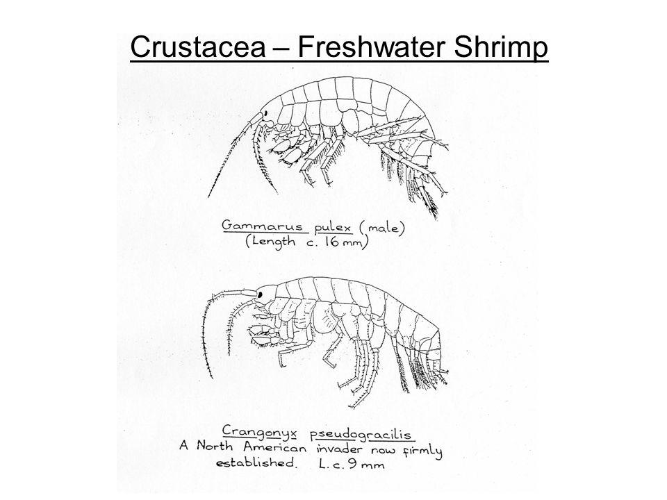 Crustacea – Freshwater Shrimp