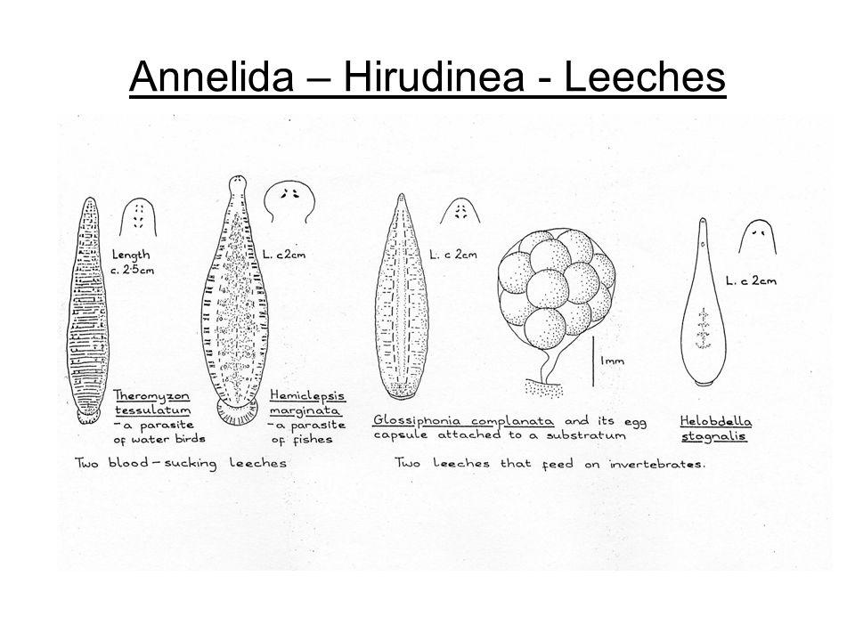 Annelida – Hirudinea - Leeches