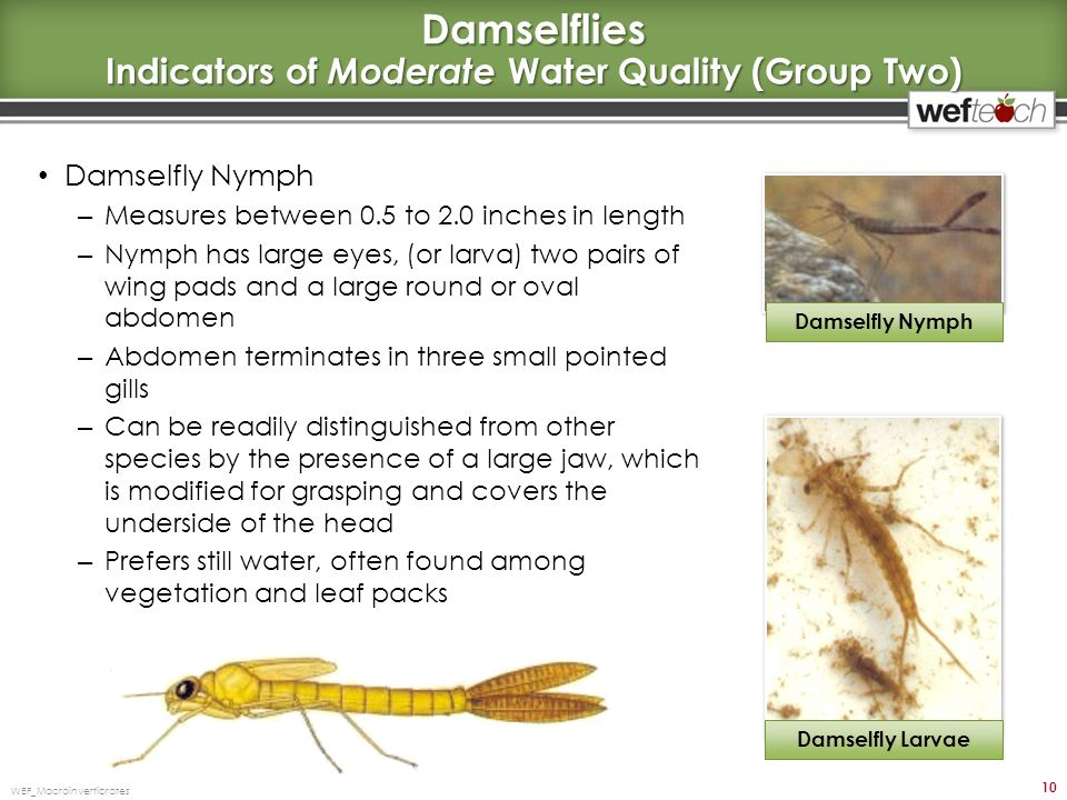 Damselflies Indicators of Moderate Water Quality (Group Two) Damselfly Nymph – Measures between 0.5 to 2.0 inches in length – Nymph has large eyes, (o