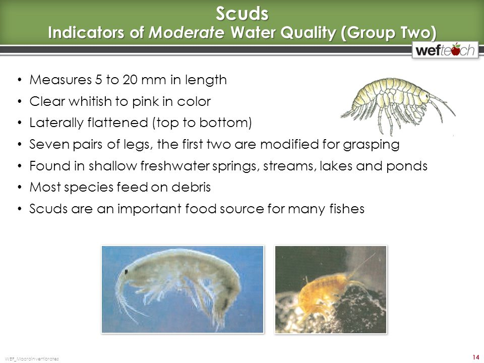 Scuds Indicators of Moderate Water Quality (Group Two) Measures 5 to 20 mm in length Clear whitish to pink in color Laterally flattened (top to bottom