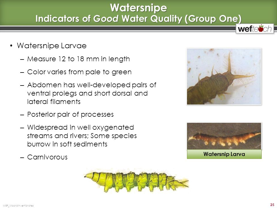 Watersnipe Indicators of Good Water Quality (Group One) Watersnipe Larvae – Measure 12 to 18 mm in length – Color varies from pale to green – Abdomen