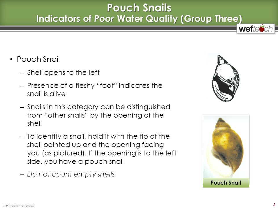 Other Snails (Including Gilled) Indicators of Poor Water Quality (Group Three) Other snails (Class Gastropada) – Shell opens to the right – On most, a covering, called the operculum, indicates the snail is alive; If no operculum is present look for a fleshy foot – Snails in this category can be distinguished from pouch snails by the opening of the shell – To identify a snail, hold it with the tip of the shell pointed up and the opening facing you (as pictured); If the opening is to the right side, you have a snail that falls in the other snails category, also referred to as gill-breathing snails – Note: The flat, coiled snails also fall into this group – Do not count empty shells WEF_Macroinvertibrates 6