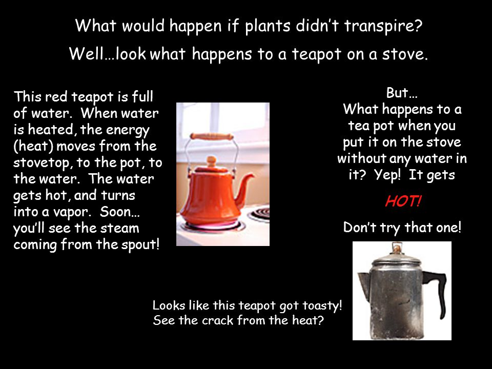 What would happen if plants didnt transpire? Well…look what happens to a teapot on a stove. This red teapot is full of water. When water is heated, th