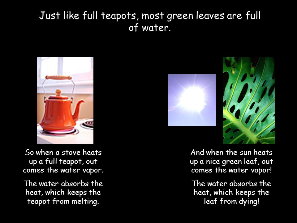 Just like full teapots, most green leaves are full of water.