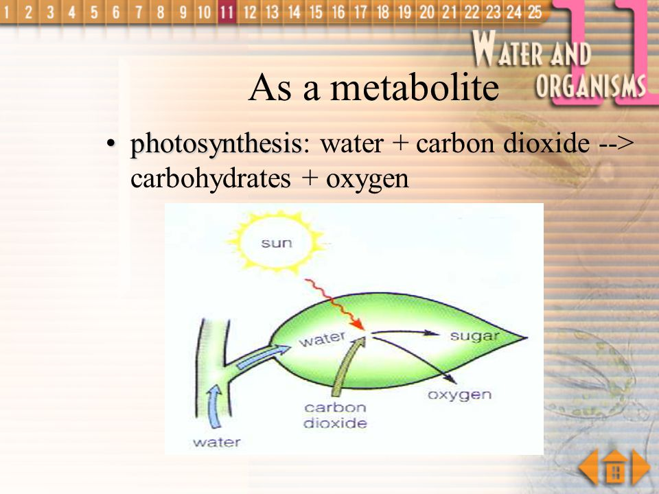 Water as a Metabolite in plants during photosynthesis, carbohydrates are synthesized from carbon dioxide and water essential in hydrolytic reactions,