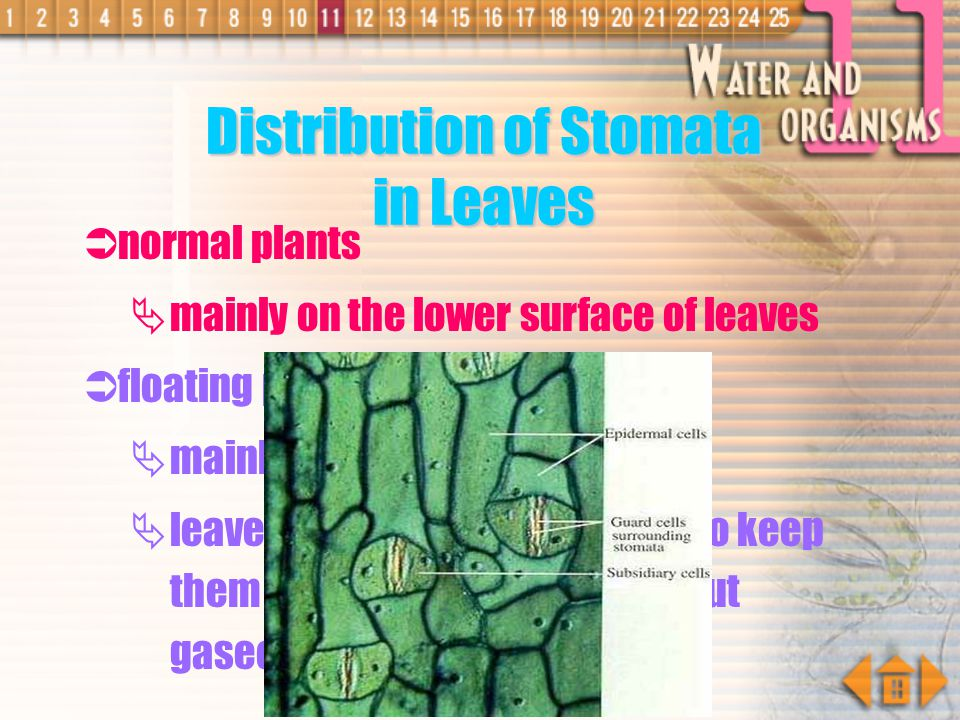 Guard Cells each stoma is surrounded by two guard cells which possess chloroplasts its inner wall is thicker than outer wall it is kidney-shaped guard