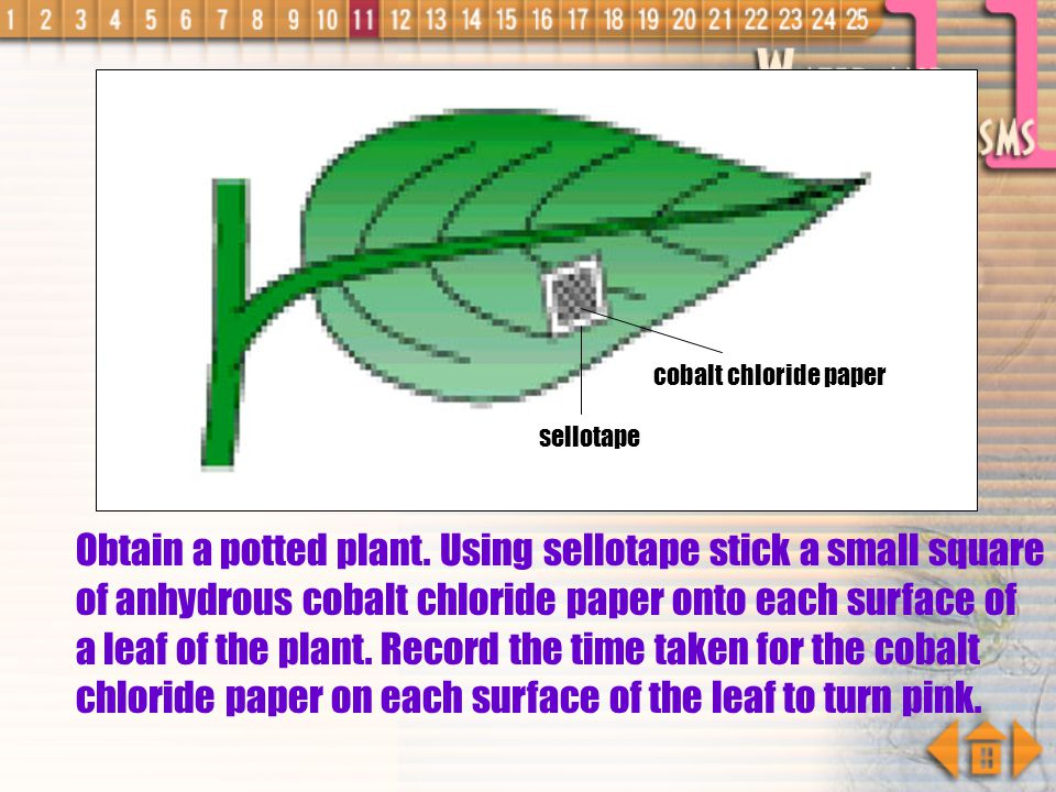 Experiment to Investigate Stomatal Distribution in a Leaf by Using Cobalt Chloride Paper