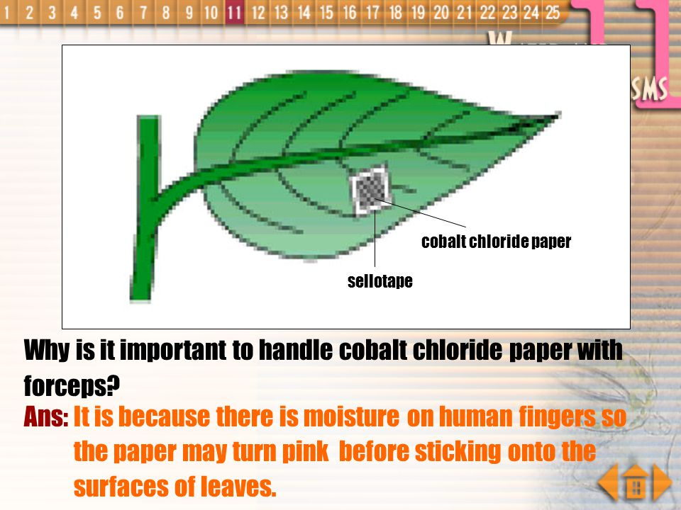 Explain your answer. Ans: It is because more stomata are present in the lower epidermis. cobalt chloride paper sellotape