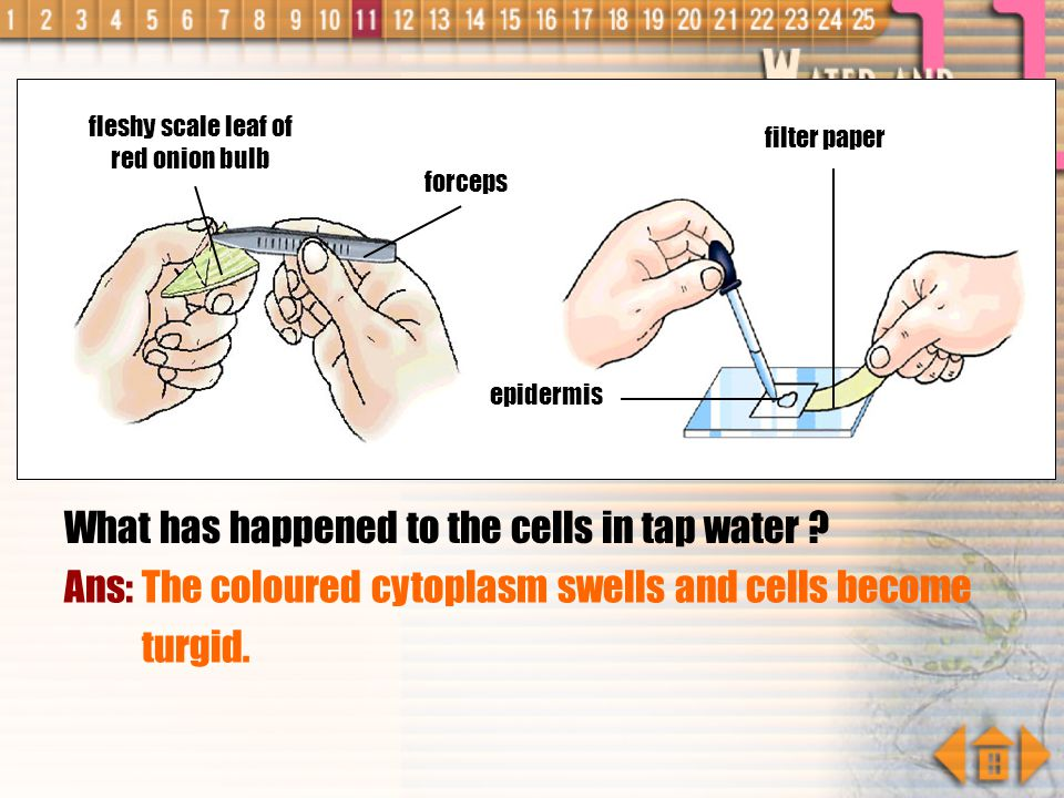 Explain your observation. Ans: When the piece of epidermis is placed in concentrated solution, cells lose water by osmosis as the cells have a higher
