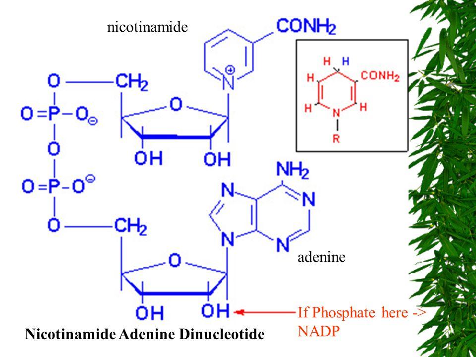 Nicotinamide Adenine Dinucleotide nicotinamide adenine If Phosphate here -> NADP