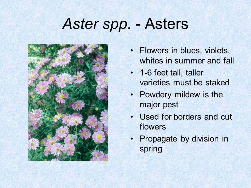 Aster spp.