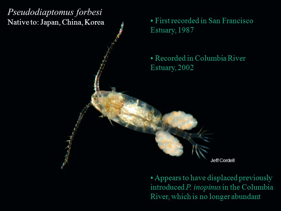 18 Pseudodiaptomus forbesi Native to: Japan, China, Korea First recorded in San Francisco Estuary, 1987 Appears to have displaced previously introduce