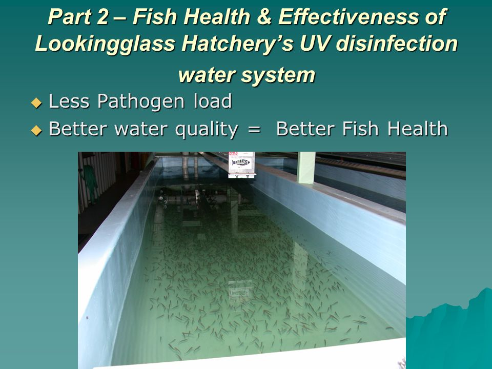 Part 2 – Fish Health & Effectiveness of Lookingglass Hatcherys UV disinfection water system Less Pathogen load Less Pathogen load Better water quality