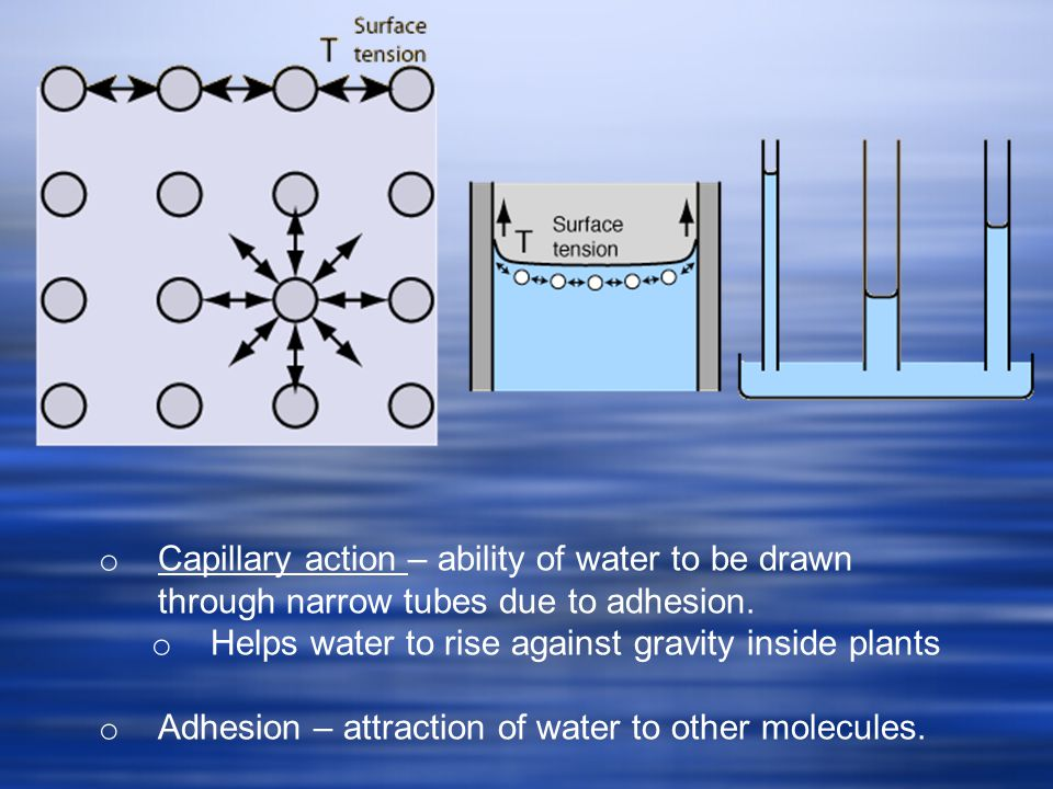 o Capillary action – ability of water to be drawn through narrow tubes due to adhesion.