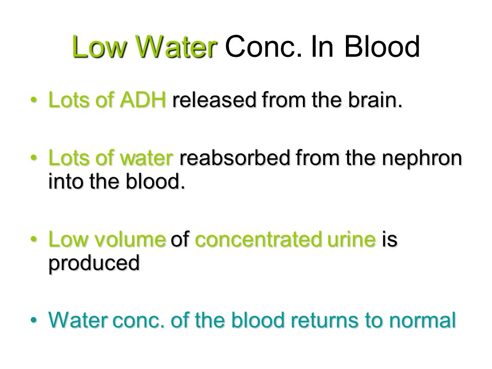 Low Water Conc. In Blood Lots of ADH released from the brain.Lots of ADH released from the brain. Lots of water reabsorbed from the nephron into the b