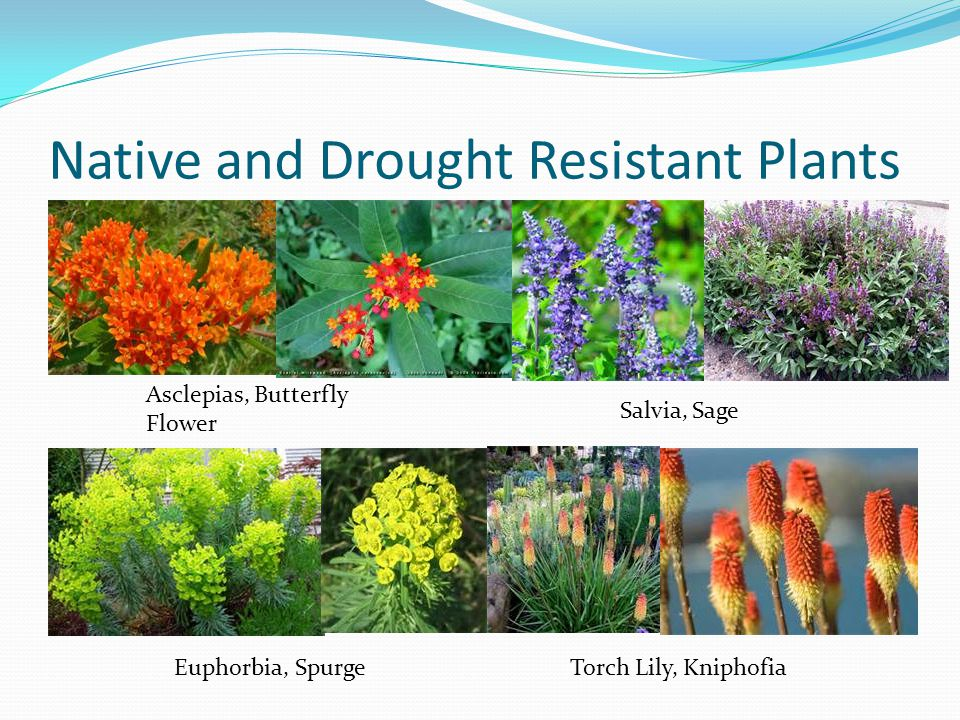 Native and Drought Resistant Plants Asclepias, Butterfly Flower Salvia, Sage Euphorbia, SpurgeTorch Lily, Kniphofia