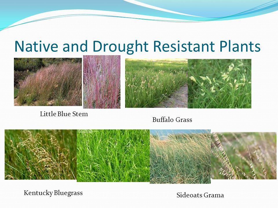 Native and Drought Resistant Plants Little Blue Stem Buffalo Grass Kentucky Bluegrass Sideoats Grama