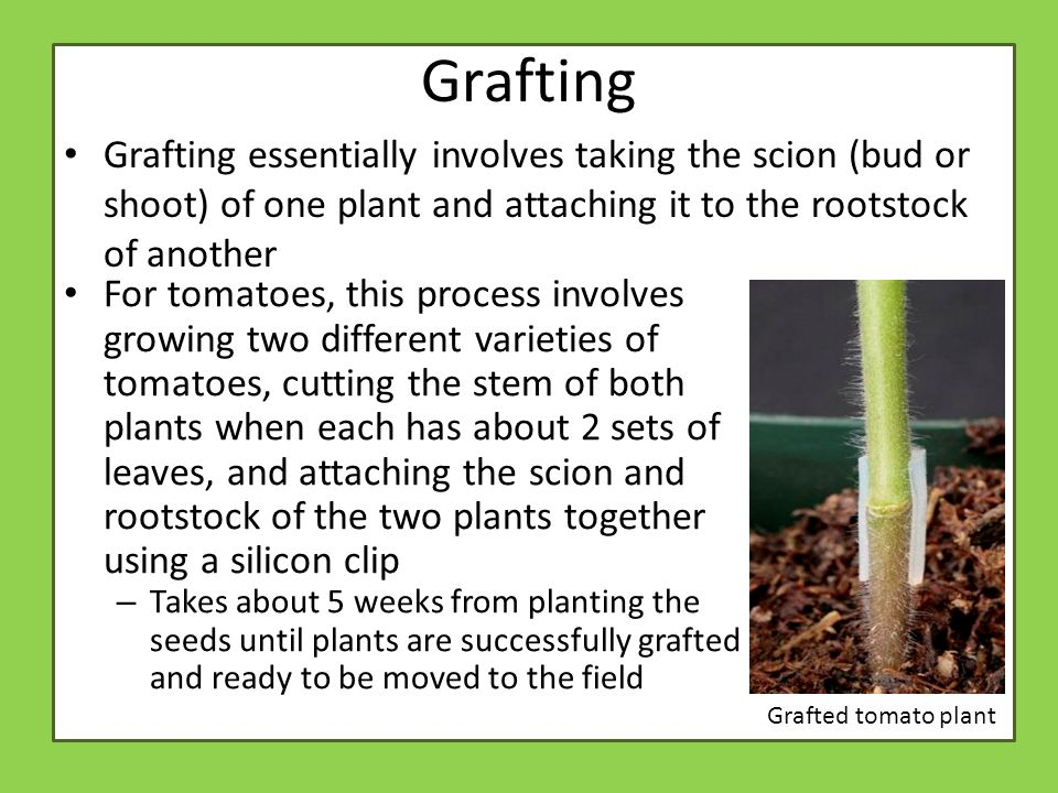 Grafting Grafting essentially involves taking the scion (bud or shoot) of one plant and attaching it to the rootstock of another Grafted tomato plant