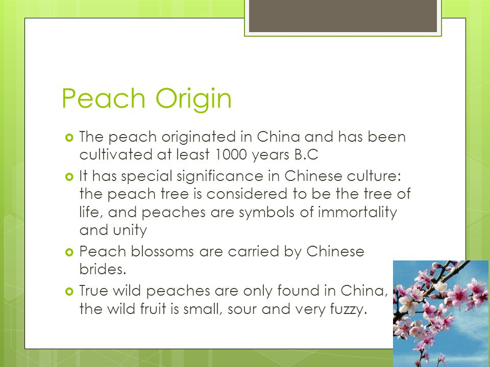 Peach Origin The peach originated in China and has been cultivated at least 1000 years B.C It has special significance in Chinese culture: the peach tree is considered to be the tree of life, and peaches are symbols of immortality and unity Peach blossoms are carried by Chinese brides.